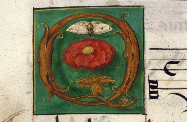 Red rose from BL Royal 11 E XI, f. 11v