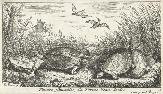 Vier zoetwaterschildpadden tussen gras en riet
