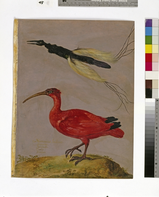Cod. Min. 130,  fol. 15r: Bestiarium Rudolfs. II., Band 2: Seleucides melanoleuca (Fadenhopf), Eudocimus ruber (Scharlachsichler oder Roter Ibis)