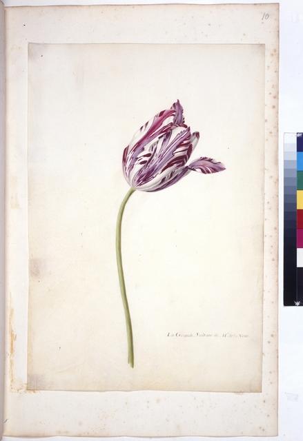 Cod. Min. 47, fol. 10r, fol. 10r: Livre des tulipes  Nicolas Robert. Livre de tulipes. Paris(?). um 1650-1655.