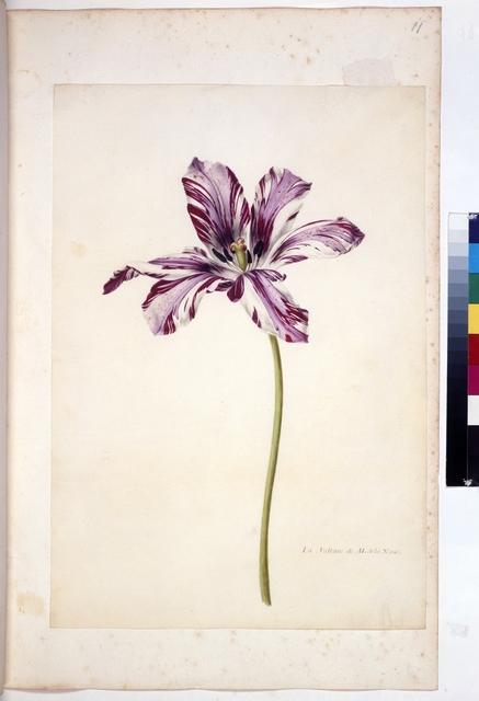 Cod. Min. 47, fol. 11r, fol. 11r: Livre des tulipes  Nicolas Robert. Livre de tulipes. Paris(?). um 1650-1655.