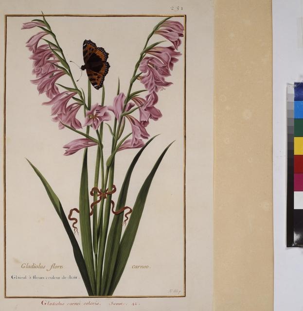 Cod. Min. 53, Bd. 5, fol. 251r: Florilegium des Prinzen Eugen von Savoyen: Gladiole mit Schmetterling