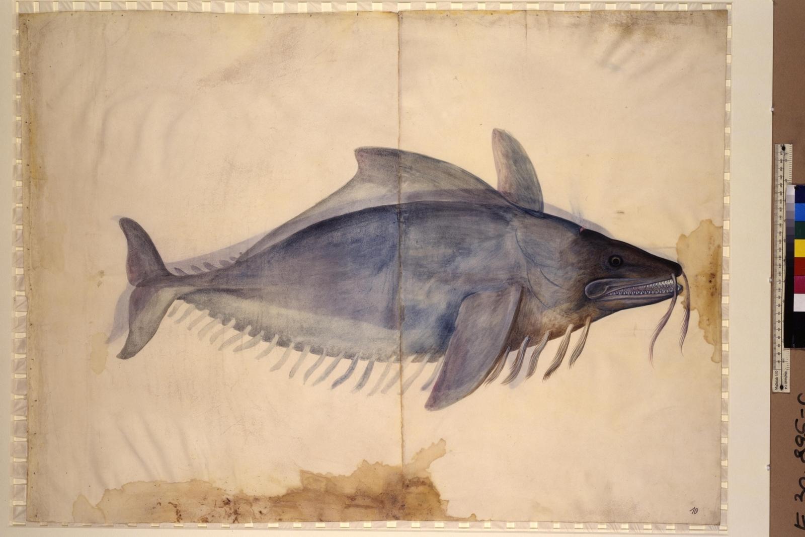Cod. Ser. n. 2669, fol. 10r: Meeresfauna des Adriatischen Meeres: Wels