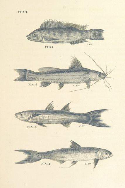 "fish from ""Travels in Upper and Lower Egypt, undertaken by order of the old government of France ... Translated from the French [by - Monk?]. (Hilaria Hunteriana [strictures on Dr. Hunter's translation of these travels].)"""