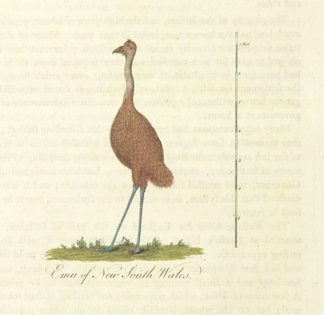 "emu from ""[An Account of the English Colony in New South Wales ... To which are added, some particulars of New Zealand; compiled ... from the MSS. of Lieutenant-Governor King ... Illustrated by engravings.]"""