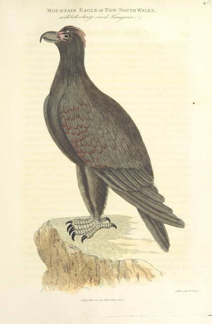 "fauna from ""[An Account of the English Colony in New South Wales ... To which are added, some particulars of New Zealand; compiled ... from the MSS. of Lieutenant-Governor King ... Illustrated by engravings.]"""