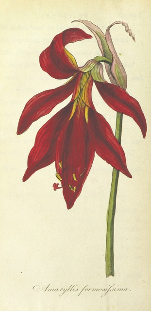 """amaryllis from """"The Poetical Works of Erasmus Darwin ... Containing the Botanic Garden ... and the Temple of Nature. With philosophical notes and plates"""""""
