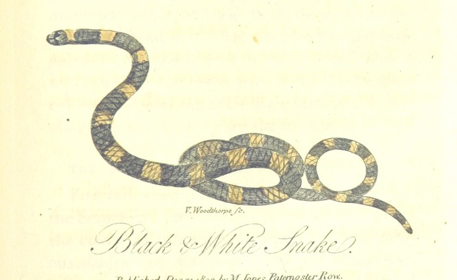 "snake from ""[The History of New South Wales, including Botany Bay, Port Jackson, Pamaratta [sic], Sydney, and all its dependancies ... with the customs and manners of the natives, and an account of the English colony, from its foundation to the present time ... Enriched with ... coloured prints.]"""