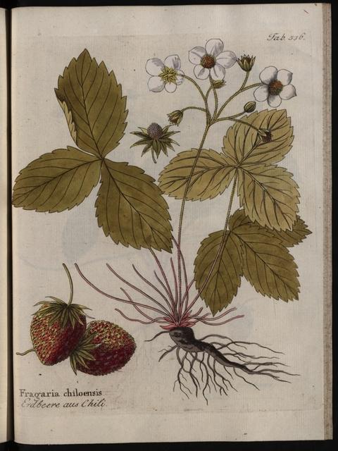 Abbildungen aller medizinisch-ökonomisch-technischen Gewächse, Band 6: Fragaria chiloensis.