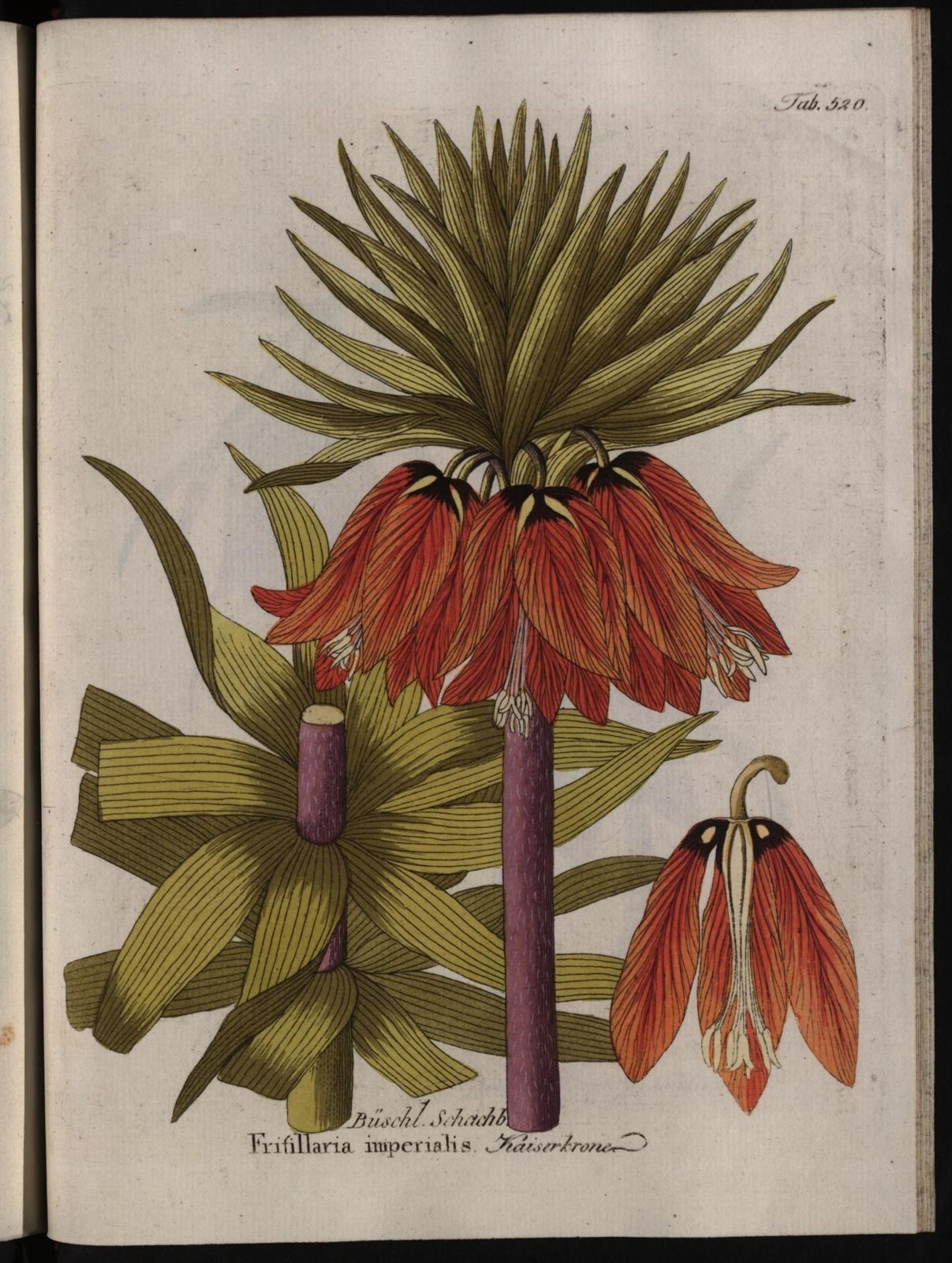 Abbildungen aller medizinisch-ökonomisch-technischen Gewächse, Band 6: Frifillaria imperialis.