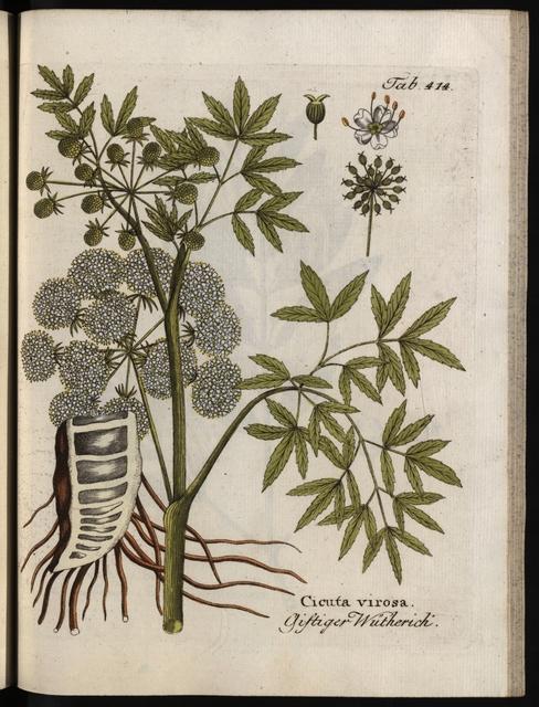 Abbildungen aller medizinisch-ökonomisch-technologischen Gewächse mit der Beschreibung ihres Nutzens und Gebrauches, Band 5: Cicuta Virosa.