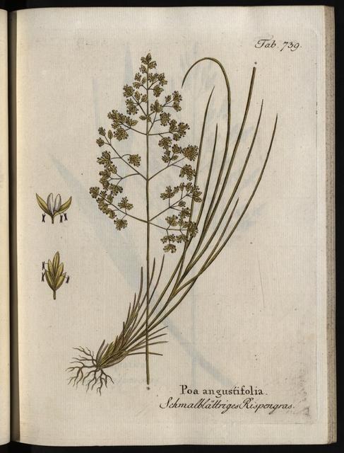 Abbildungen aller medizinisch-ökonomisch-technologischen Gewächse, Band 9.: Poa angustifolia.