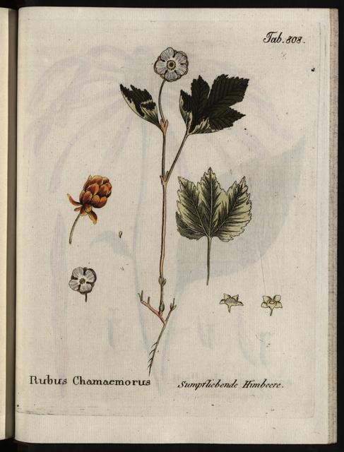 Abbildungen aller medizinisch-ökonomisch-technologischen Gewächse, Band 9.: Rubus Chamaemorus.