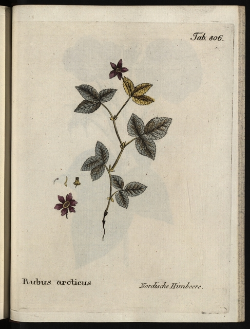 Abbildungen aller medizinisch-ökonomisch-technologischen Gewächse, Band 9.: Rubus arcticus.