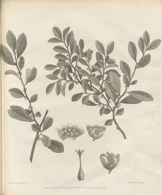 """flora from """"Narrative of a Journey in the Interior of China, and of a voyage to and from that country, in the years 1816 and 1817; containing an account of the most interesting transactions of Lord Amherst's Embassy to the Court of Pekin, etc. [With plates and maps.]"""""""