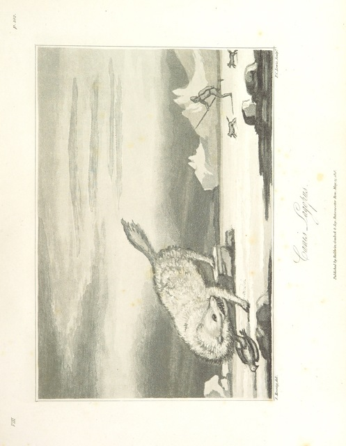 """Vulpes lagopus from """"Greenland, the adjacent seas, and the North-West Passage to the Pacific Ocean, illustrated in a voyage to Davis's Strait, during the summer of 1817"""""""