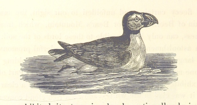 """Puffin from """"Journal of a Voyage to Greenland, in the year 1821. With graphic illustrations"""""""