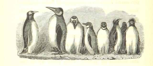 "Wildlife from ""Narrative of a Voyage to the Southern Atlantic Ocean, in ... 1828, 29, 30, performed in H. M. Sloop Chanticleer, etc"""