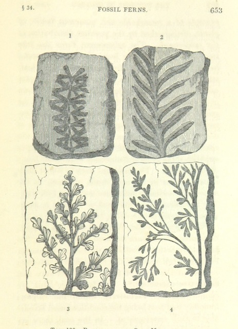 """fossil from """"[The Wonders of Geology; or, a familiar exposition of geological phenomena: being the substance of a course of lectures ... by G. M. ... from notes taken by G. F. Richardson.]"""""""