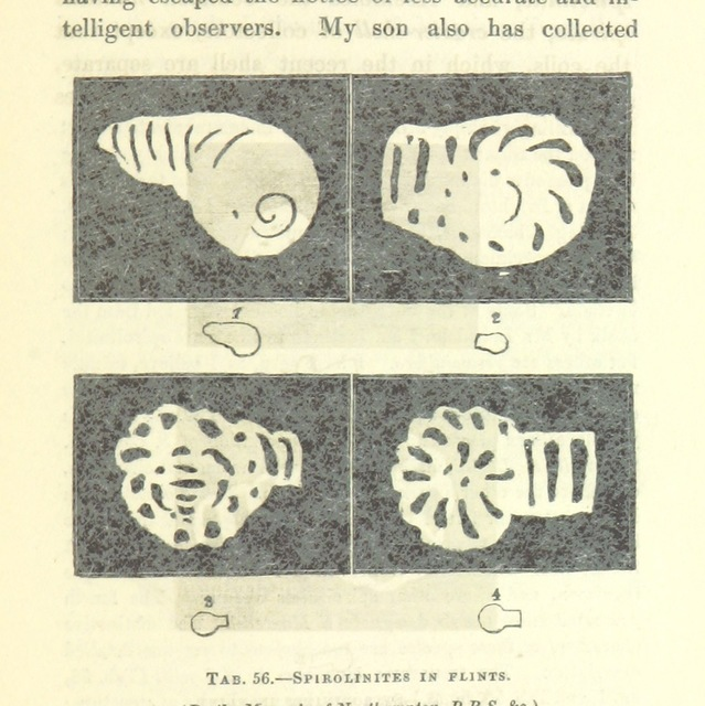 """Spirolinites in flints from """"[The Wonders of Geology; or, a familiar exposition of geological phenomena: being the substance of a course of lectures ... by G. M. ... from notes taken by G. F. Richardson.]"""""""