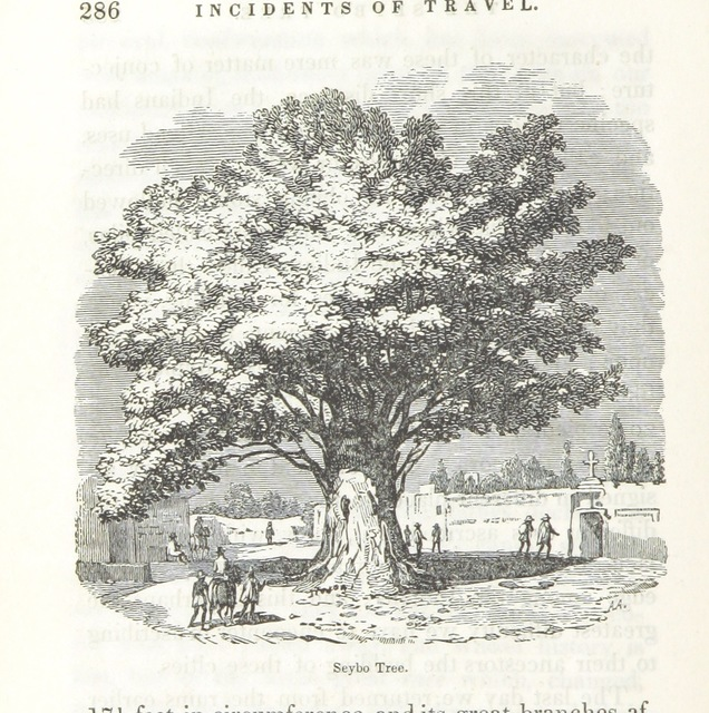 """Seybo_Tree from """"Incidents of Travel in Yucatan, etc"""""""