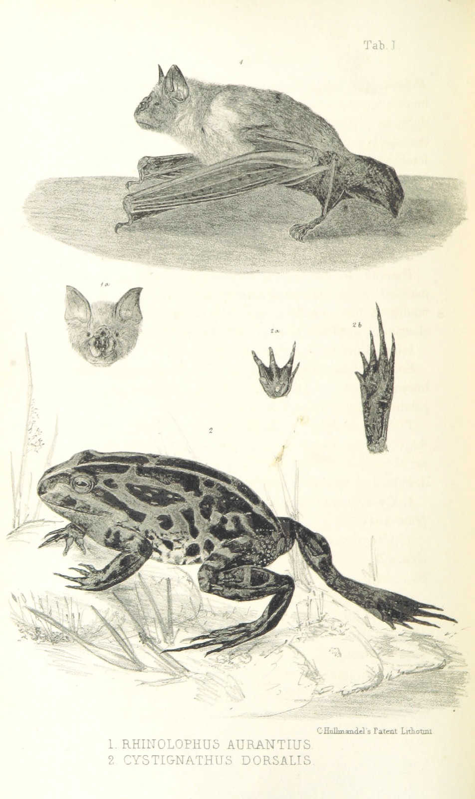 """bat from """"Journals of Expeditions of discovery into Central Australia, and overland from Adelaide to King George's Sound, in 1840-1, including an account of the manners and customs of the Aborigines, and the state of their relations with Europeans"""""""