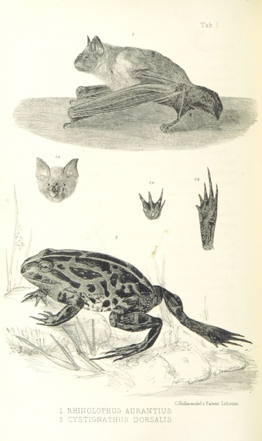 "bat from ""Journals of Expeditions of discovery into Central Australia, and overland from Adelaide to King George's Sound, in 1840-1, including an account of the manners and customs of the Aborigines, and the state of their relations with Europeans"""