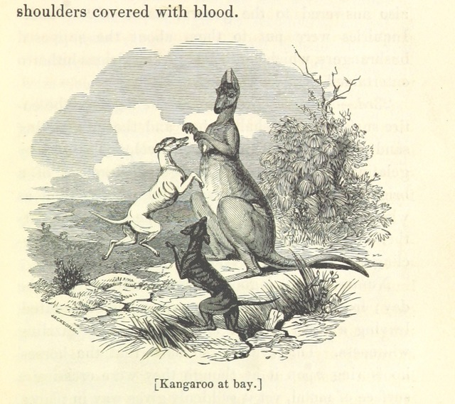 """Wikipedia:en=Kangaroo from """"Savage Life and Scenes in Australia and New Zealand: being an artist's impressions of countries and people at the Antipodes. With numerous illustrations"""""""