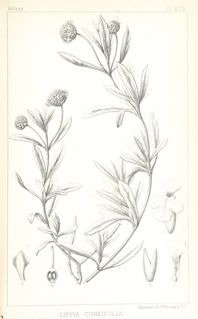 """Flora from """"Exploration of the Red River of Louisiana, in ... 1852: by R. B. Marcy ... assisted by G. B. McClellan ... With reports on the natural history of the country, and ... illustrations"""""""