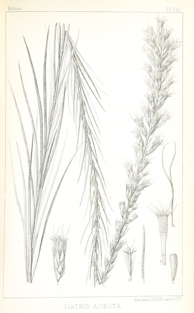 """Liatris acidota from """"Exploration of the Red River of Louisiana, in ... 1852: by R. B. Marcy ... assisted by G. B. McClellan ... With reports on the natural history of the country, and ... illustrations"""""""