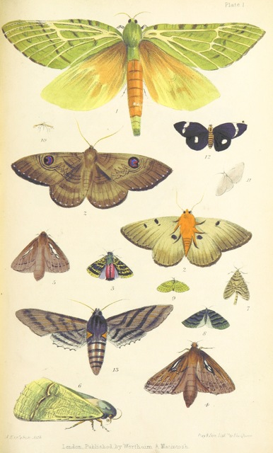 """Aenetus virescens from """"Te Ika a Maui, or, New Zealand and its inhabitants, etc"""""""