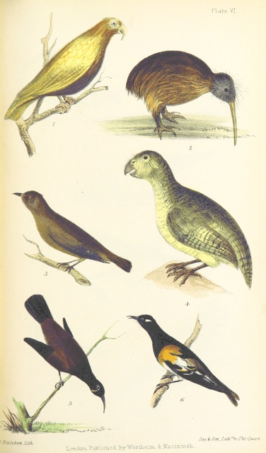 """Stitchbird from """"Te Ika a Maui, or, New Zealand and its inhabitants, etc"""""""