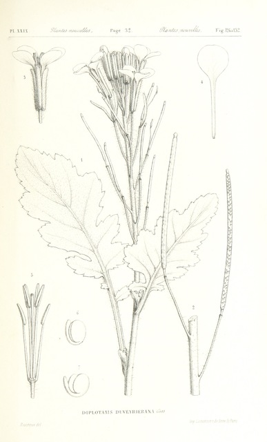 "Flora from ""Exploration du Sahara. (tom. 1.) Les Touareg du Nord. [With a portrait and a map.]"""