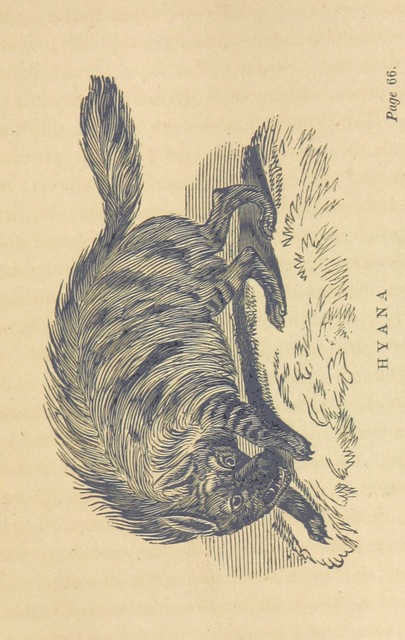 """hyena from """"Adventures in the far interior of South Africa; including a journey to Lake Ngami, and rambles in Honduras. To which is appended a short treatise on the best mode of skinning and preserving Birds, Animals, etc. [With plates.]"""""""