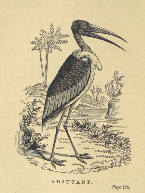 "Marabou Stork (Leptoptilos crumeniferus) from ""Adventures in the far interior of South Africa; including a journey to Lake Ngami, and rambles in Honduras. To which is appended a short treatise on the best mode of skinning and preserving Birds, Animals, etc. [With plates.]"""