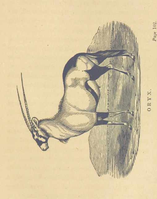 """oryx from """"Adventures in the far interior of South Africa; including a journey to Lake Ngami, and rambles in Honduras. To which is appended a short treatise on the best mode of skinning and preserving Birds, Animals, etc. [With plates.]"""""""