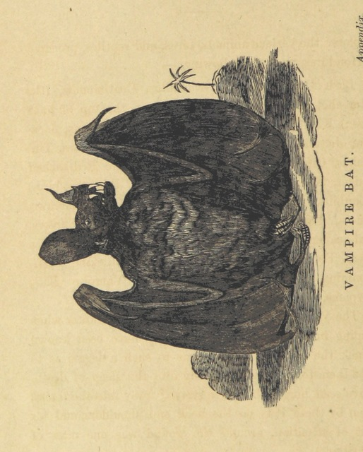 """vampire bat from """"Adventures in the far interior of South Africa; including a journey to Lake Ngami, and rambles in Honduras. To which is appended a short treatise on the best mode of skinning and preserving Birds, Animals, etc. [With plates.]"""""""