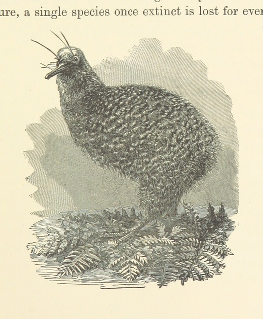 """Kiwi from """"The Wonderland of the Antipodes; and other sketches of travel in the North Island of New Zealand ... With map and ... illustrations, etc"""""""