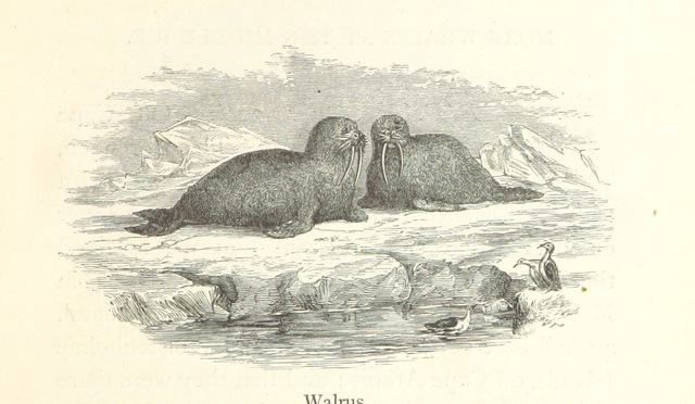"""walrus from """"A Whaling Cruise to Baffin's Bay and the Gulf of Boothia. And an account of the rescue of the crew of the """"Polaris."""" ... With an introduction by ... S. Osborn, etc"""""""