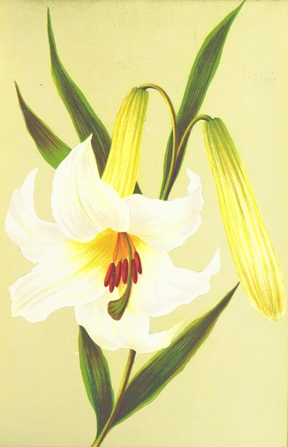 """Easter lily from """"The Keble Autograph Birthday Book. [Containing selections from J. K.'s poetry.] With floral illustrations. By E. L. M"""""""