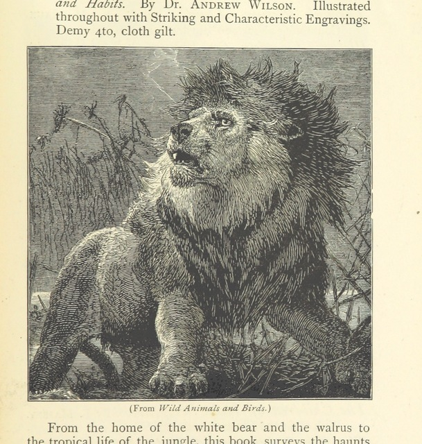 """lion from """"Round Africa; being some account of the peoples and places of the Dark Continent"""""""