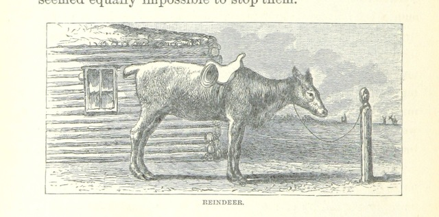 """reindeer from """"Ice-Pack and Tundra: an account of the search for the Jeannette and a sledge journey through Siberia ... With maps and illustrations"""""""