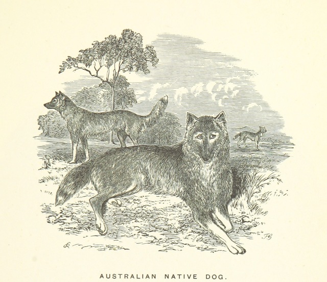 """Canis lupus dingo from """"Illustrated Handbook of Victoria, Australia. [Edited by James Thomson.]"""""""