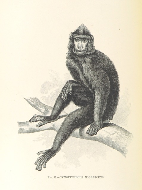 "Celebes crested macaque (Macaca nigra) from ""A Naturalist in North Celebes. A narrative of travels in Minahassa, the Sangir and Talaut Islands, with notices of the fauna, flora and ethnology of the districts visited ... With maps and illustrations"""