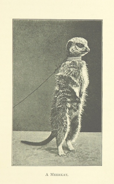 """meerkat from """"Home Life on an Ostrich Farm. ... Second edition"""""""