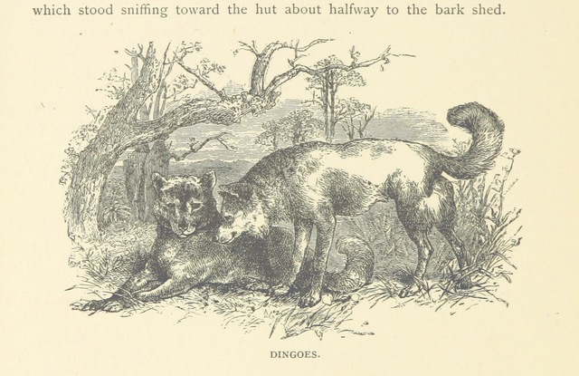 """Wikipedia:en= Dingo from """"Zigzag Journeys in Australia; or, a Visit to the Ocean World ... Fully illustrated"""""""