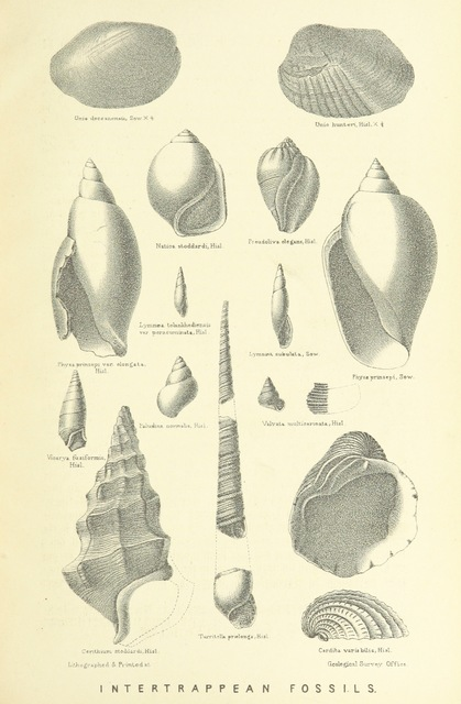 "fossils from ""A Manual of the Geology of India ... Second edition ... largely rewritten by R. D. Oldham"""