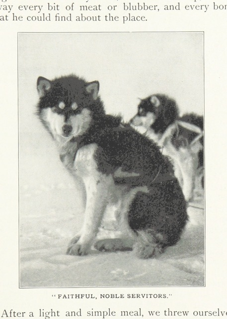 """dog from """"Northward over the """"Great Ice"""": a narrative of life and work along the shores and upon the interior ice-cap of Northern Greenland in the years 1886 and 1891-1897 ... With maps, diagrams, and about eight hundred illustrations"""""""