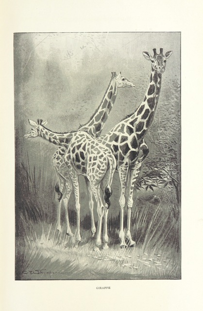 "giraffe from ""Exploration and Hunting in Central Africa, 1895-96 ... With eight full-page illustrations by C. Whymper, twenty-five photographs and a map"""