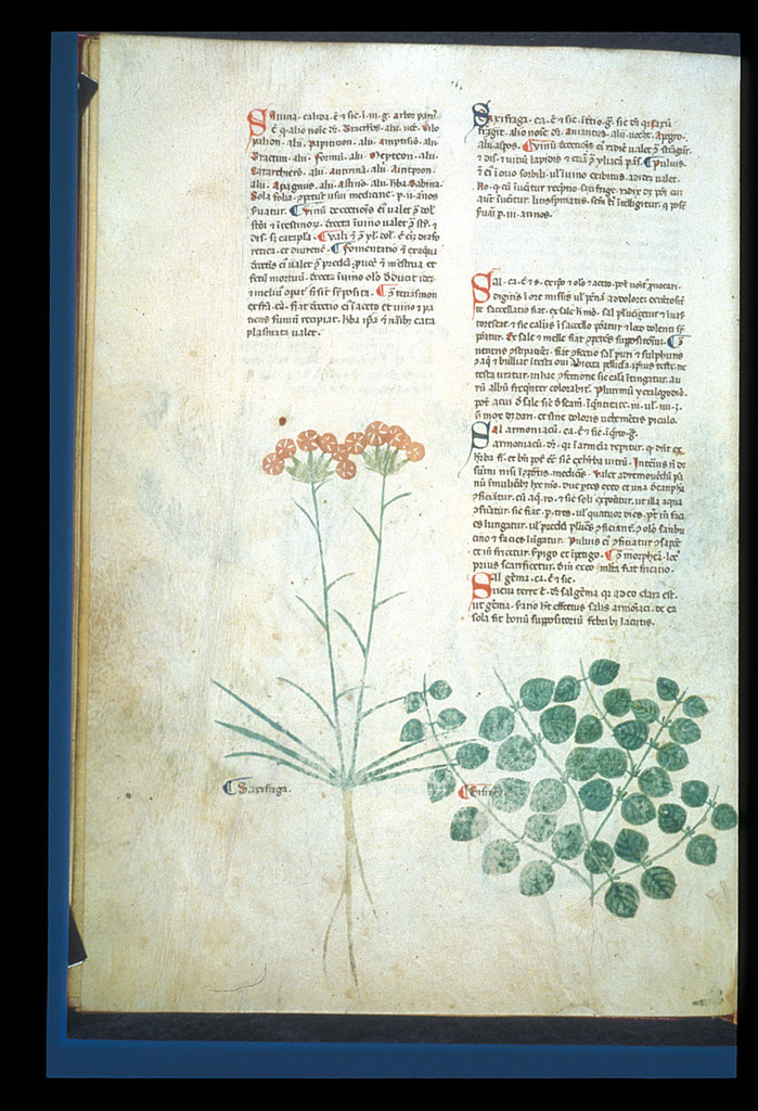 Burnet Saxifrage and Water Mint from BL Eg 747, f. 92v